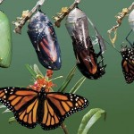 butterfly coming out of cocoon