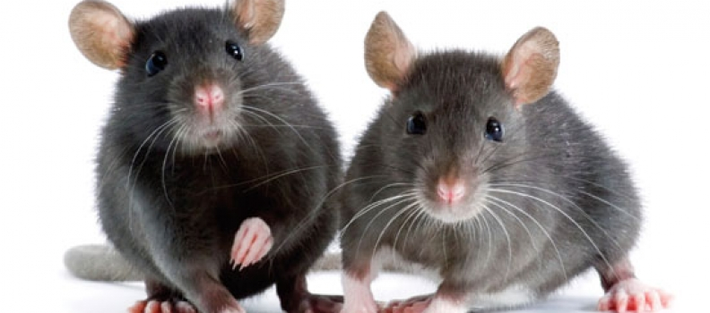 Mouse Finds New Mate, Takes Over Get Web Wired